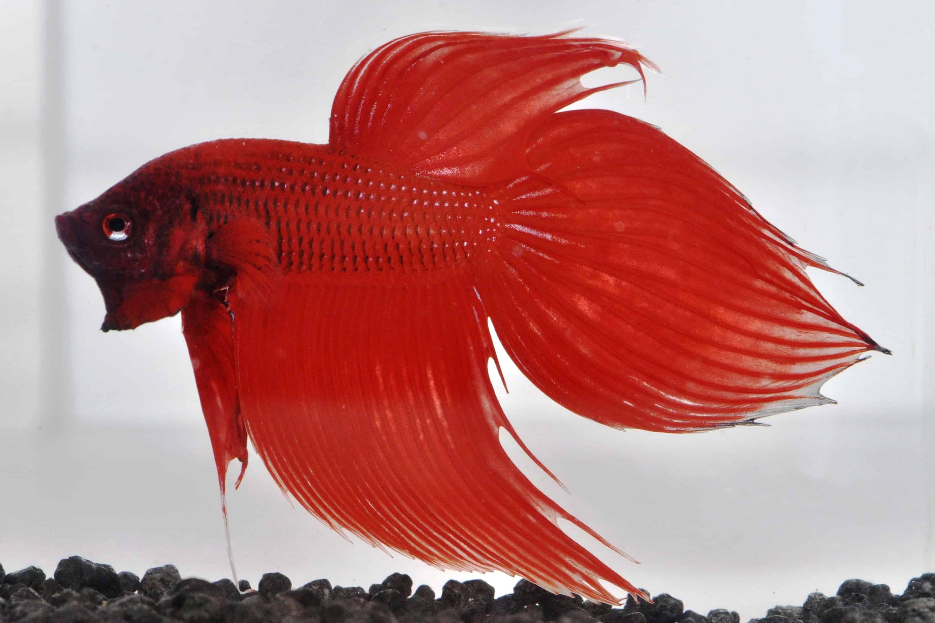 Betta splendens siamesischer kampffisch my fish for Siamesischer kampffisch