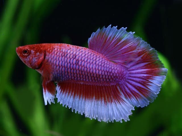 Purple and white betta fish for Purple betta fish