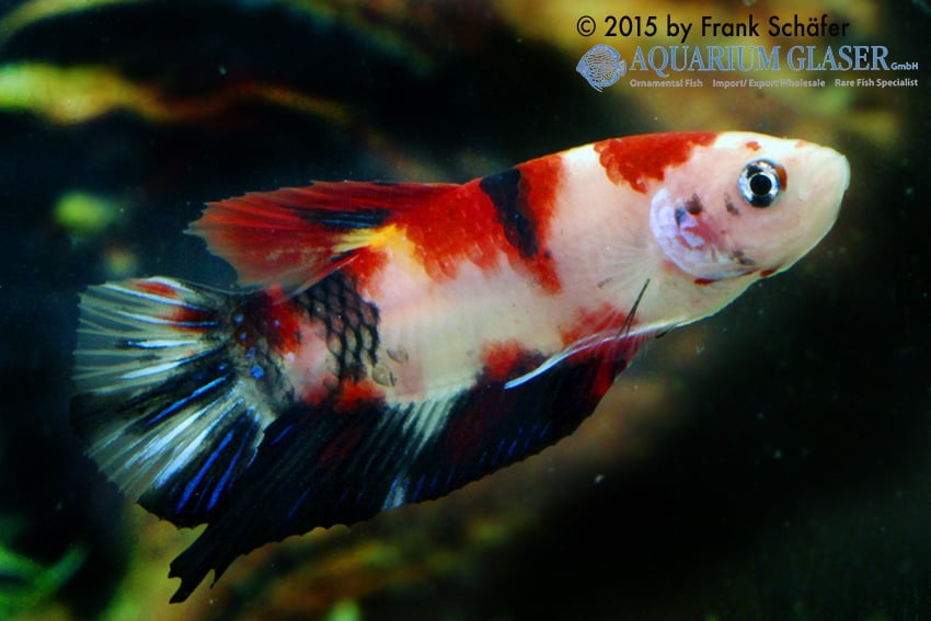 Betta splendens pla kat koi my fish for Siamesischer kampffisch haltung