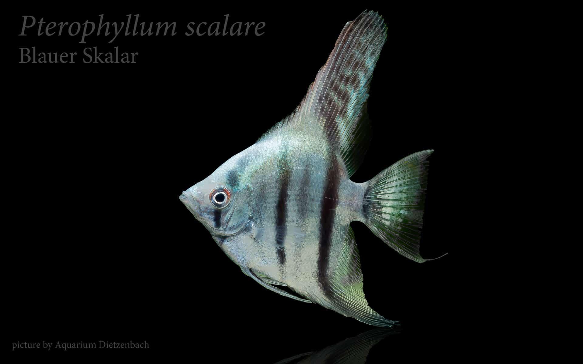 Pterophyllum scalare skalar my fish for Skalar aquarium