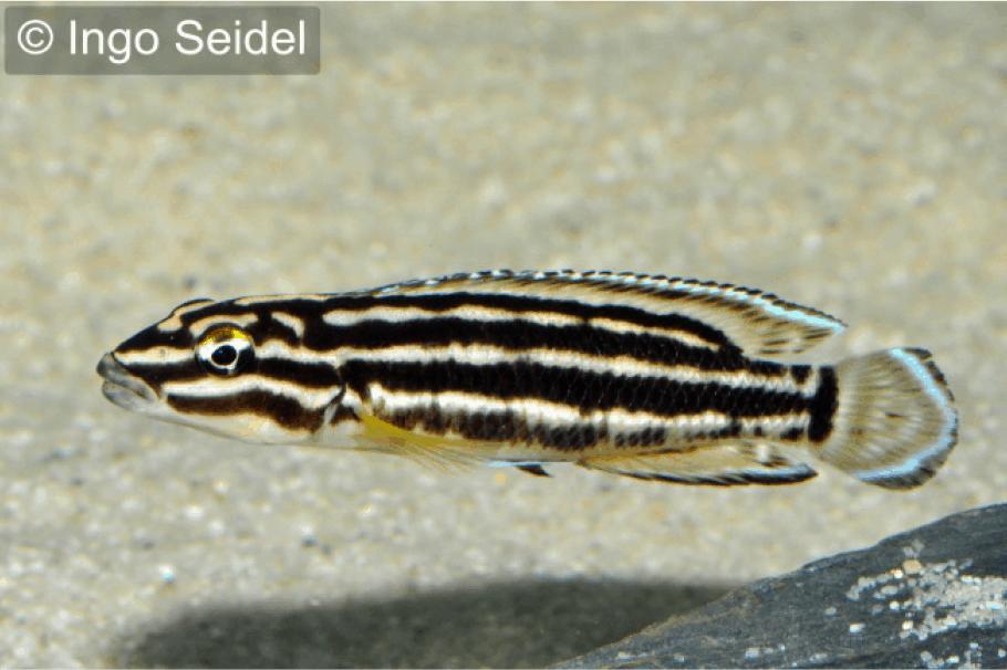 Julidochromis regani vierstreifen schlankcichlide my fish for Robuste zierfische