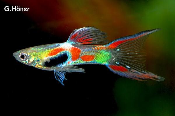 Poecilia Wingei Endler Guppy My Fish