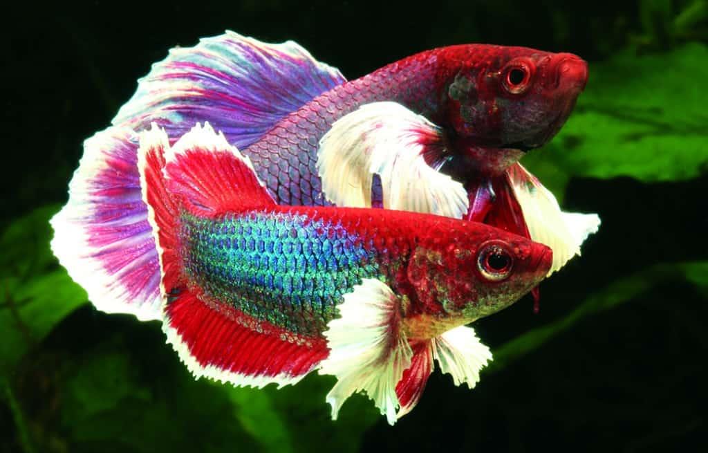 Kampffische mit elefantenohren my fish for Elephant ear betta fish