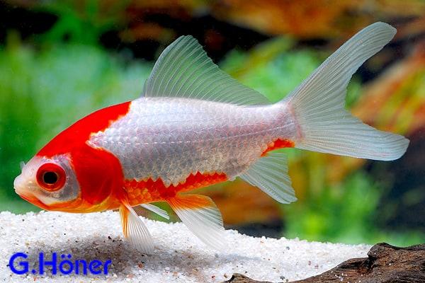 Carassius auratus goldfisch my fish for Teichfische goldorfe
