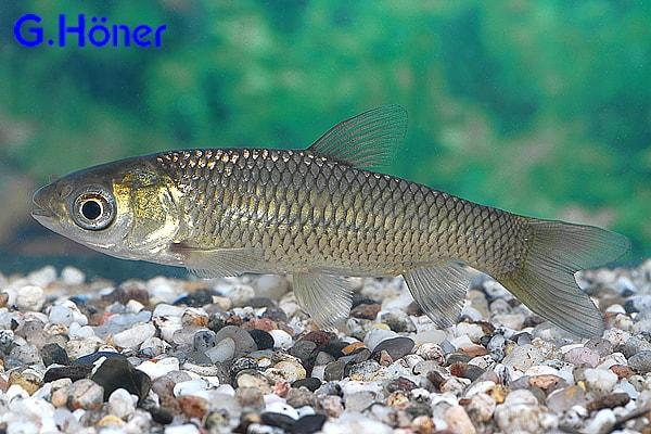 Moderlieschen my fish for Teichfische goldorfe