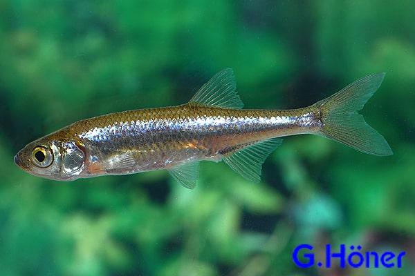 moderlieschen my fish