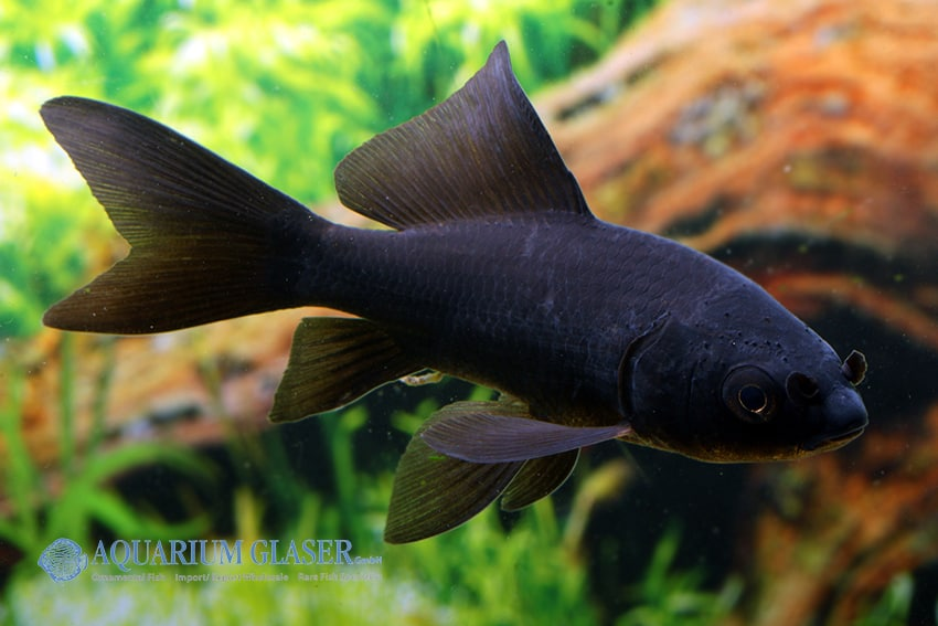 Carassius auratus goldfisch my fish for Algenfresser gartenteich fische