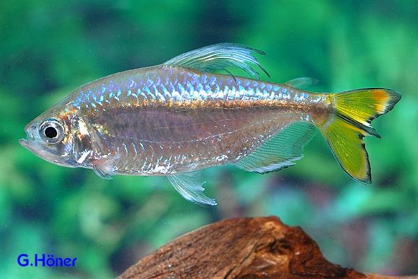 Alestopetersius caudalis – Gelber Kongosalmler