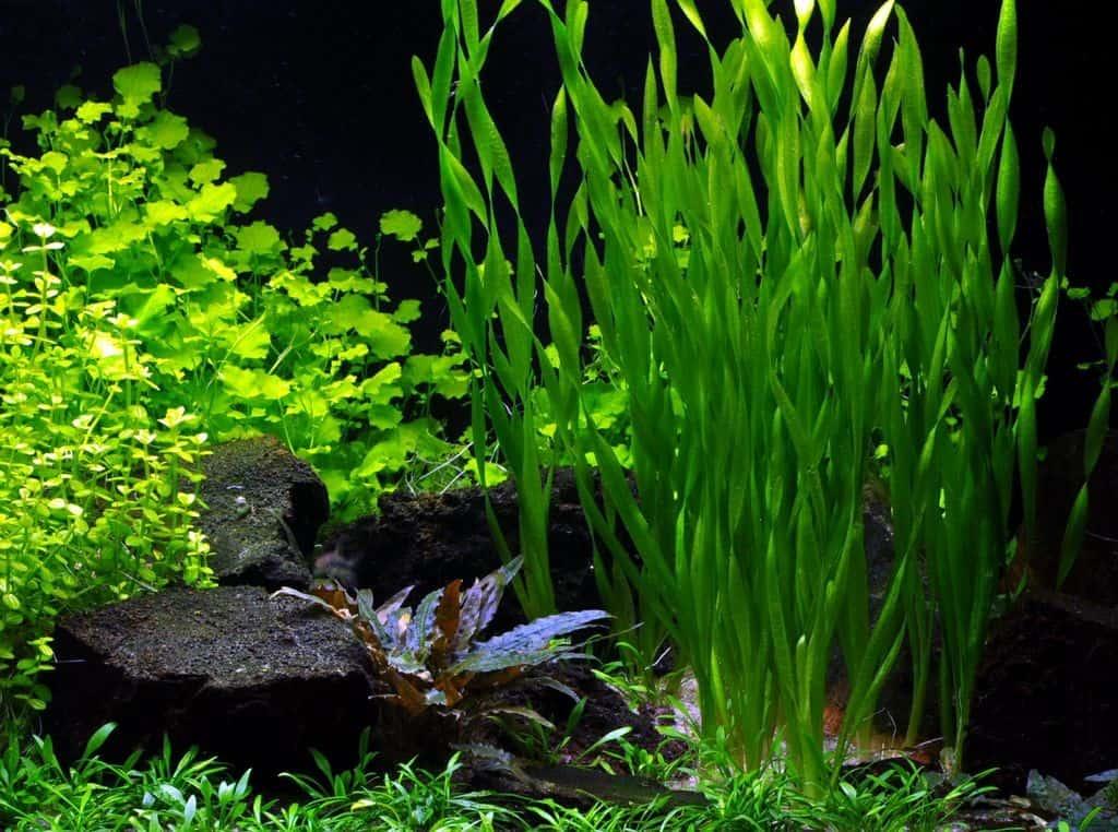 Почему аквариумные растения выпускают тонкие корни из стебля