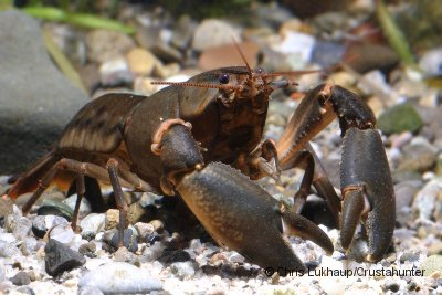 """Cherax holthuisi """"Brown"""""""