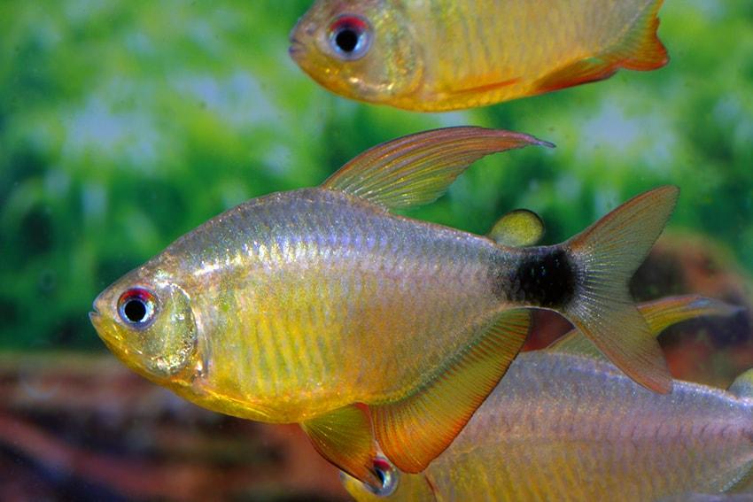 http://my-fish.org/wp-content/uploads/2013/06/hyphessobrycon-heliacus.jpg