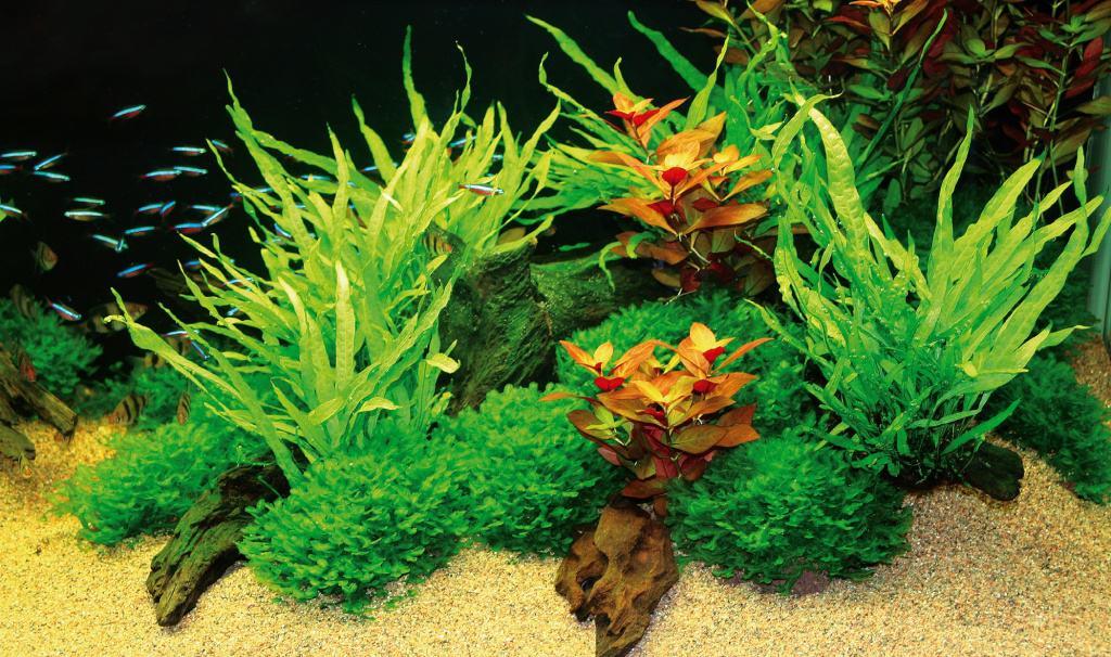 allelopathie wie wasserpflanzen konkurrenten auf distanz halten my fish. Black Bedroom Furniture Sets. Home Design Ideas