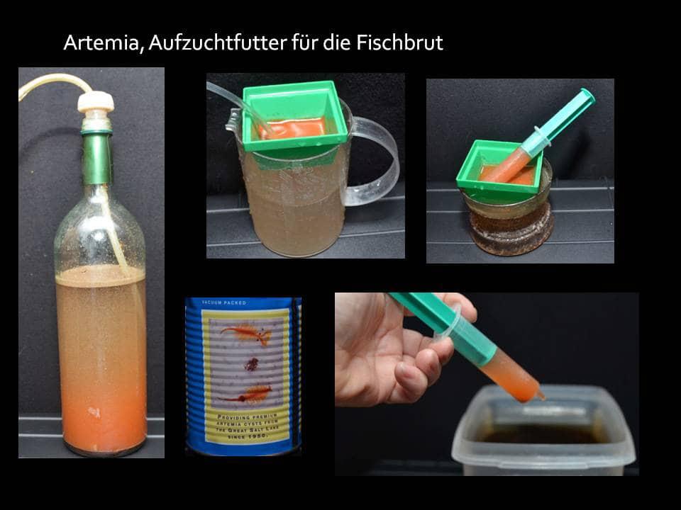 Artemia – Nauplien