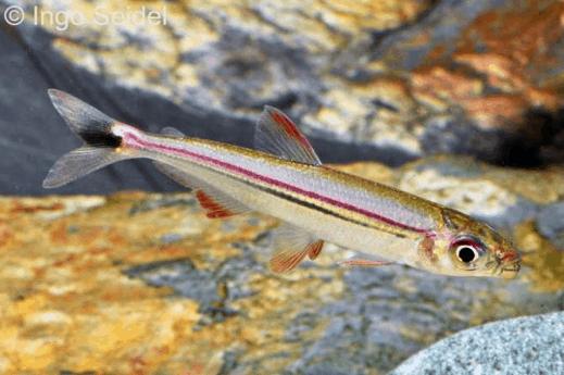 Iguanodectes geisleri – Rotlinien-Eidechsensalmler