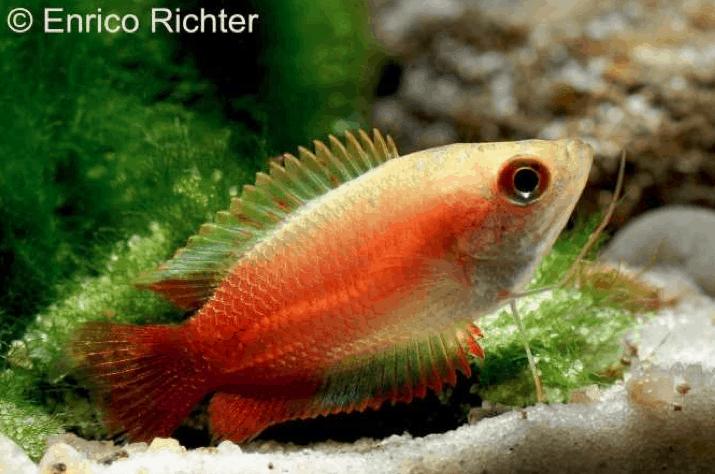 Trichogaster chuna var. – Honiggurami