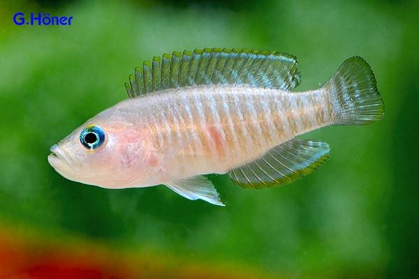 Neolamprologus multifasciatus – Gestreifter Schneckenbarsch
