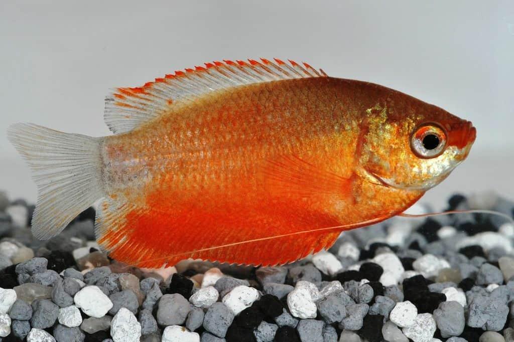 Trichogaster chuna – Roter Honiggurami