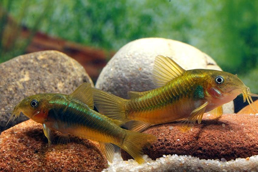 Corydoras sp. ?CW009? - Neon-gr?ner Metallpanzerwels - my-fish