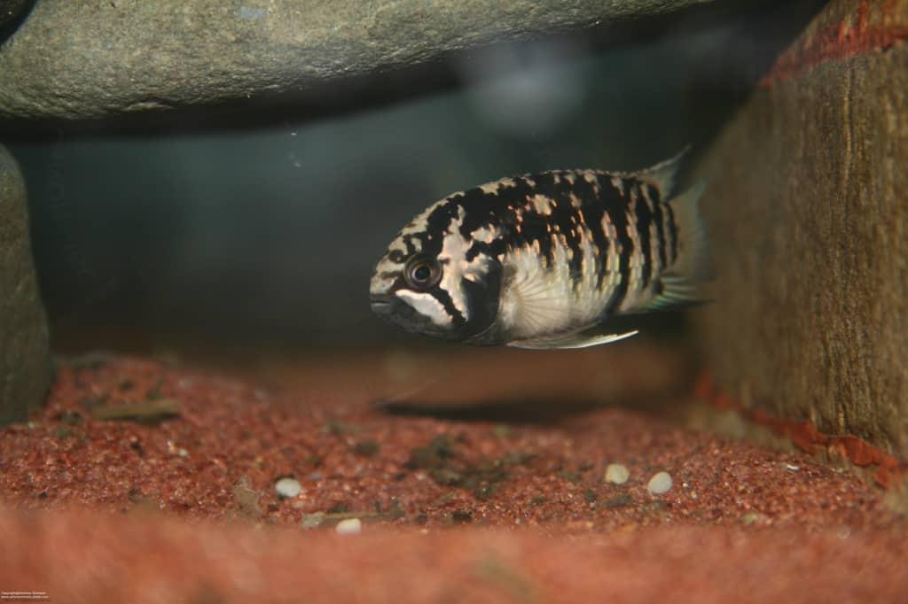 Ivanacara adoketa - Zebra-Acara - my-fish