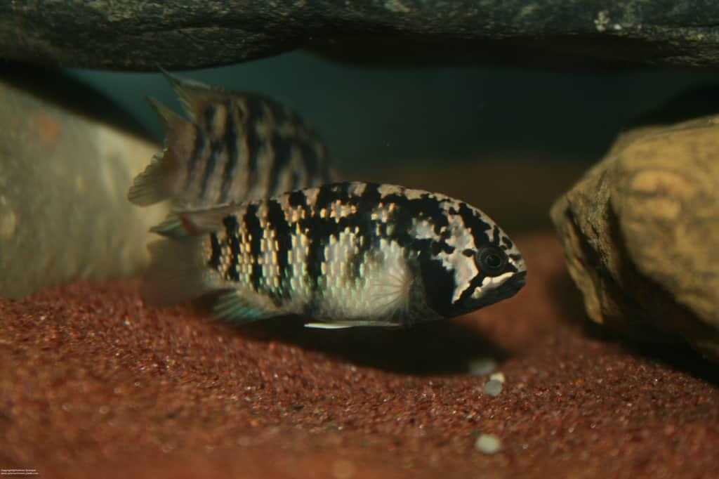 Ivanacara adoketa – Zebra-Acara