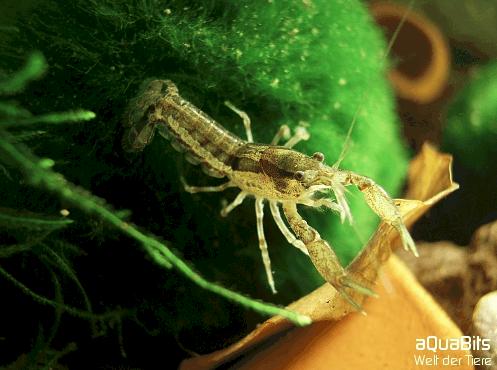 Cambarellus Shufeldtii : Cambarellus shufeldtii - Louisiana Zwergflu?krebs