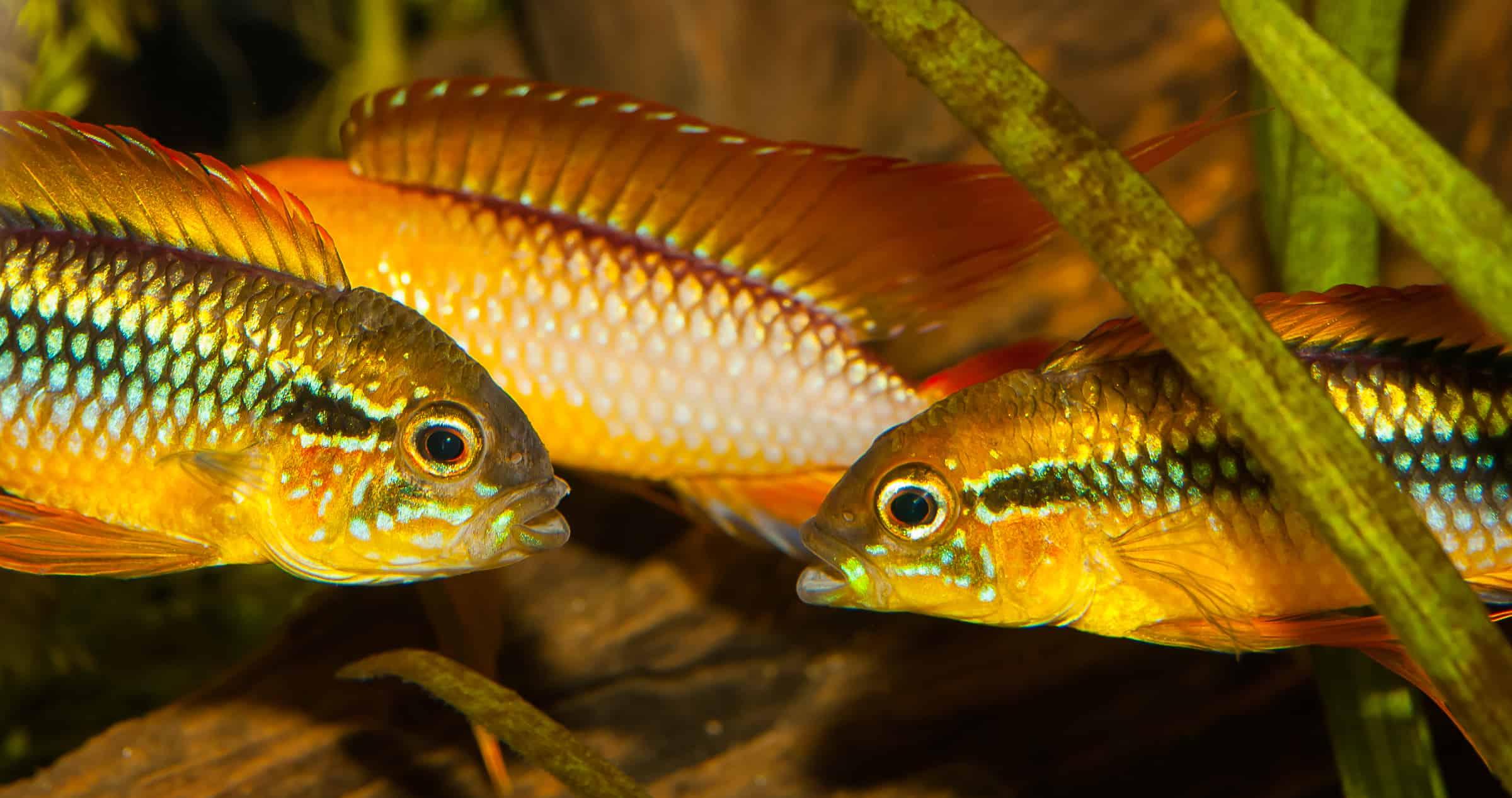 zwergbuntbarsche kleine fische gro in farbe und verhalten my fish. Black Bedroom Furniture Sets. Home Design Ideas