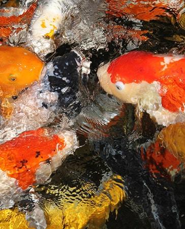 Gartenteich my fish for Gartenteichfische arten