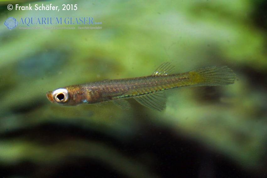 Zierfische my fish for Siamesischer kampffisch haltung