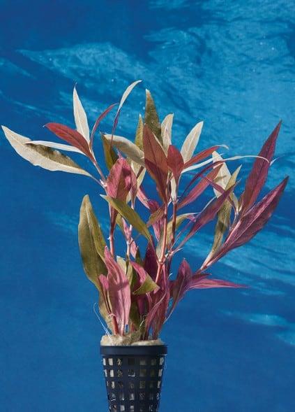Alternanthera reineckii 'Rot' - Breitblättriges, rotes Papageienblatt 1