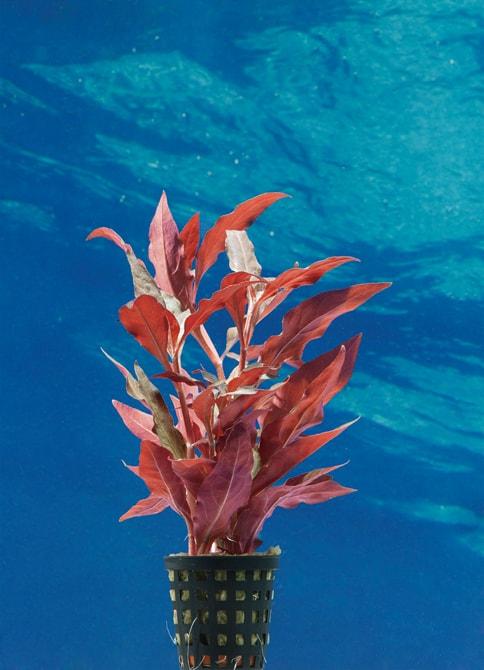 Alternanthera reineckii 'Rot' - Breitblättriges, rotes Papageienblatt 2