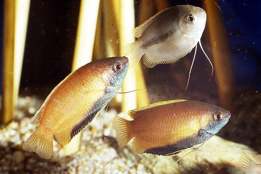 Colisa (Trichogaster) chuna - Honiggurami 3