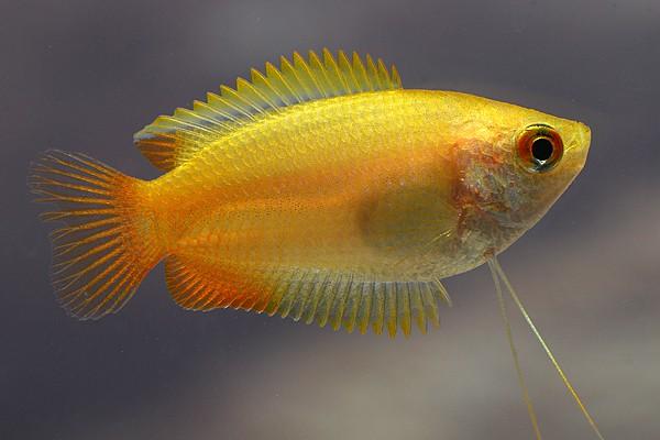 Colisa (Trichogaster) chuna - Honiggurami 2