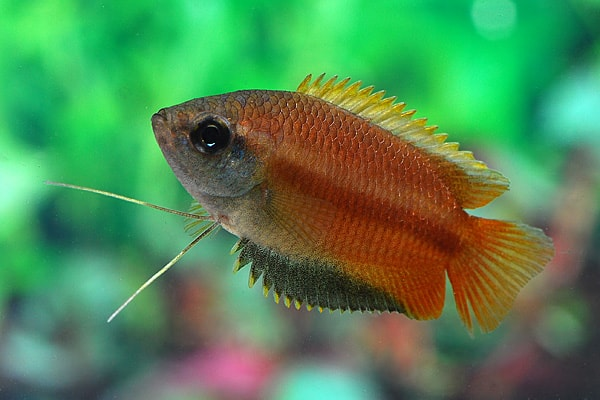 Colisa (Trichogaster) chuna - Honiggurami 1
