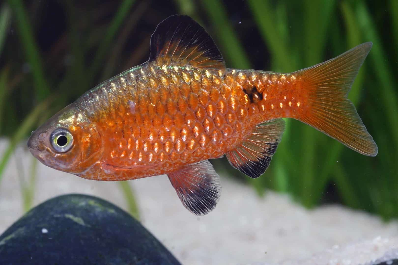 Pethia conchonius - Prachtbarbe 5
