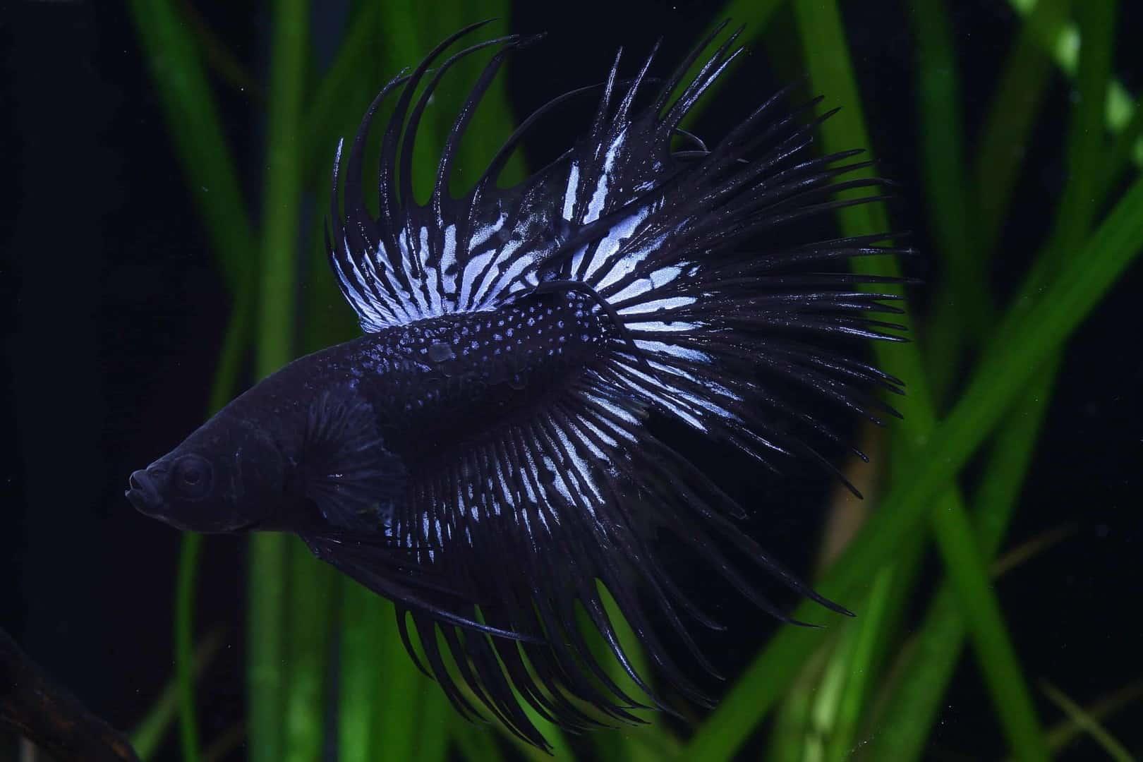 Betta splendens - Siamesischer Kampffisch 16