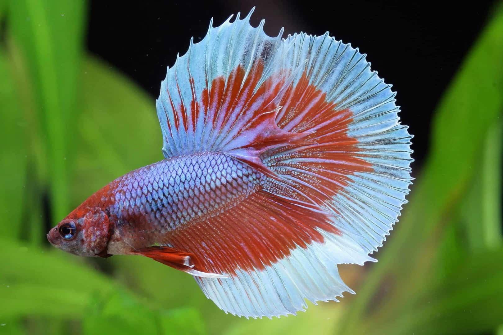 Betta splendens - Siamesischer Kampffisch 15