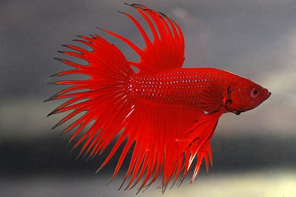 Betta splendens - Siamesischer Kampffisch 13