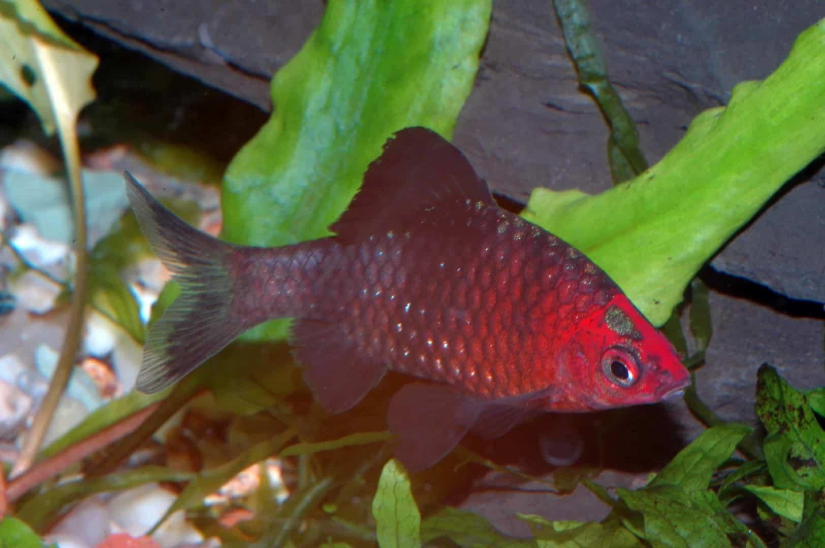 Pethia nigrofasciatus - Purpurkopfbarbe 4