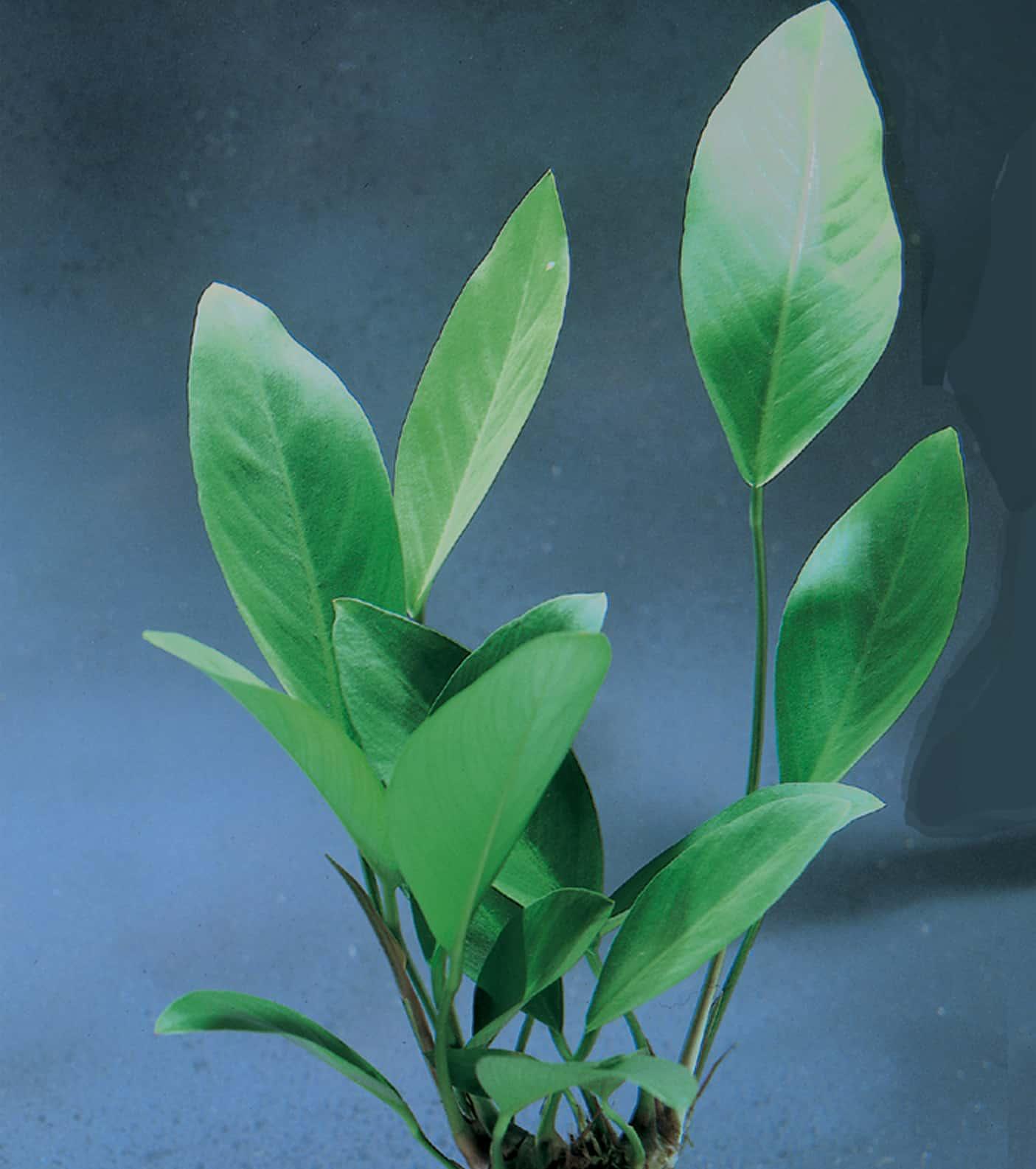 Anubias congensis - Kongo-Speerblatt 1