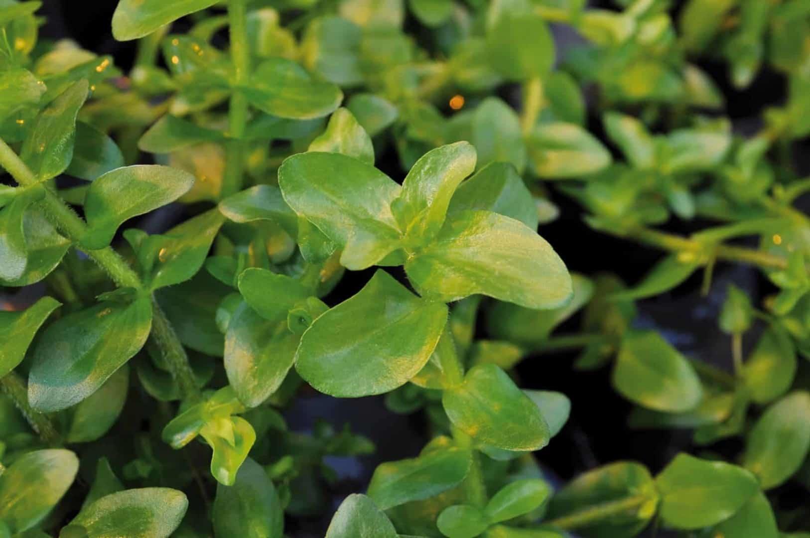 Bacopa caroliniana - Großes Fettblatt 2