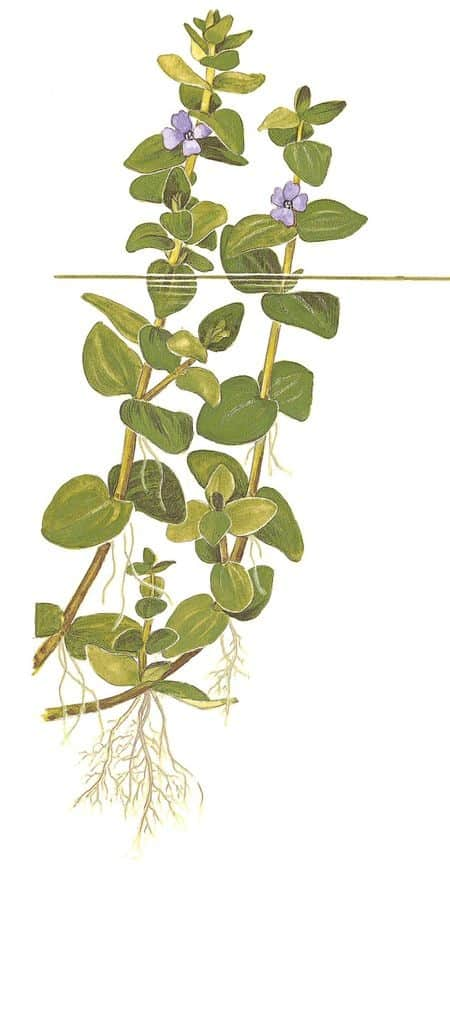 Bacopa caroliniana - Großes Fettblatt 5