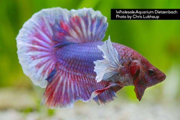 Big Ear Quelle: Aquarium Dietzenbach Herbert Nigl