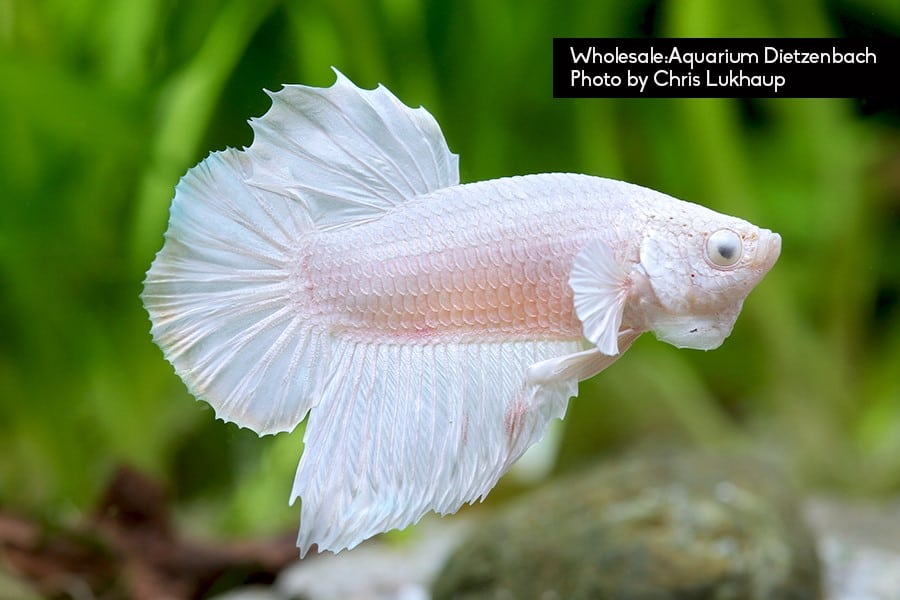 Betta splendent Plakat opaque white Quelle: Aquarium Dietzenbach Herbert Nigl