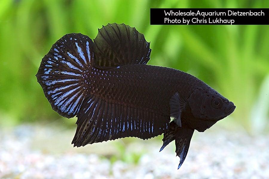 Plakat schwarz Quelle: Aquarium Dietzenbach Herbert Nigl