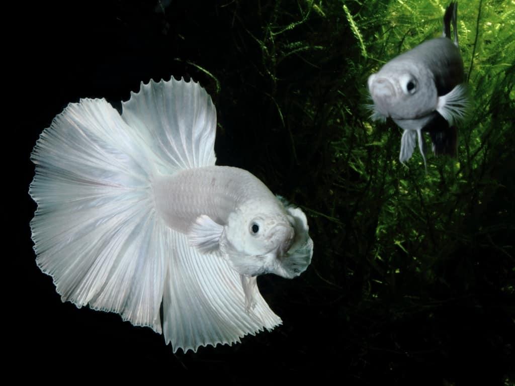 Betta splendens - Siamesischer Kampffisch 2