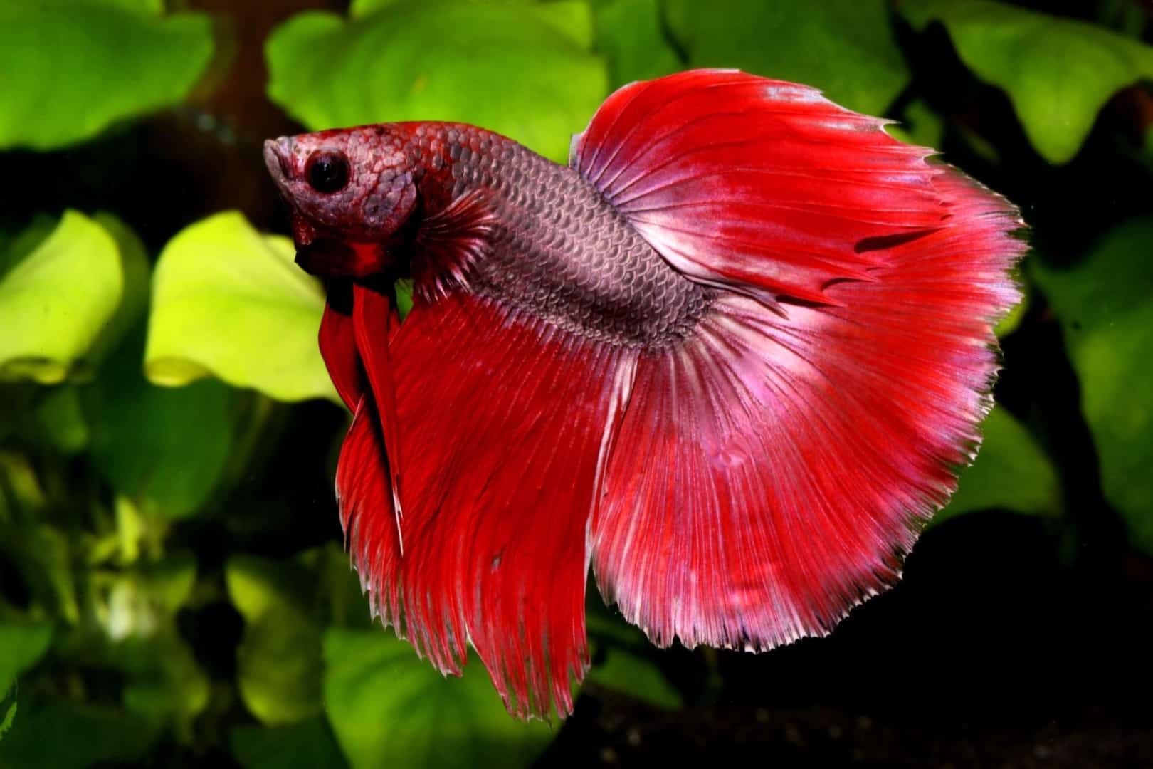 Betta Half Moon : Quelle Aqua Haus