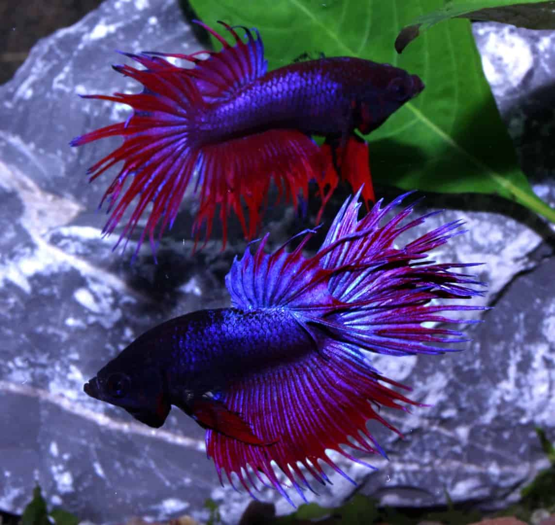 Betta splendens : Quelle Aqua Haus