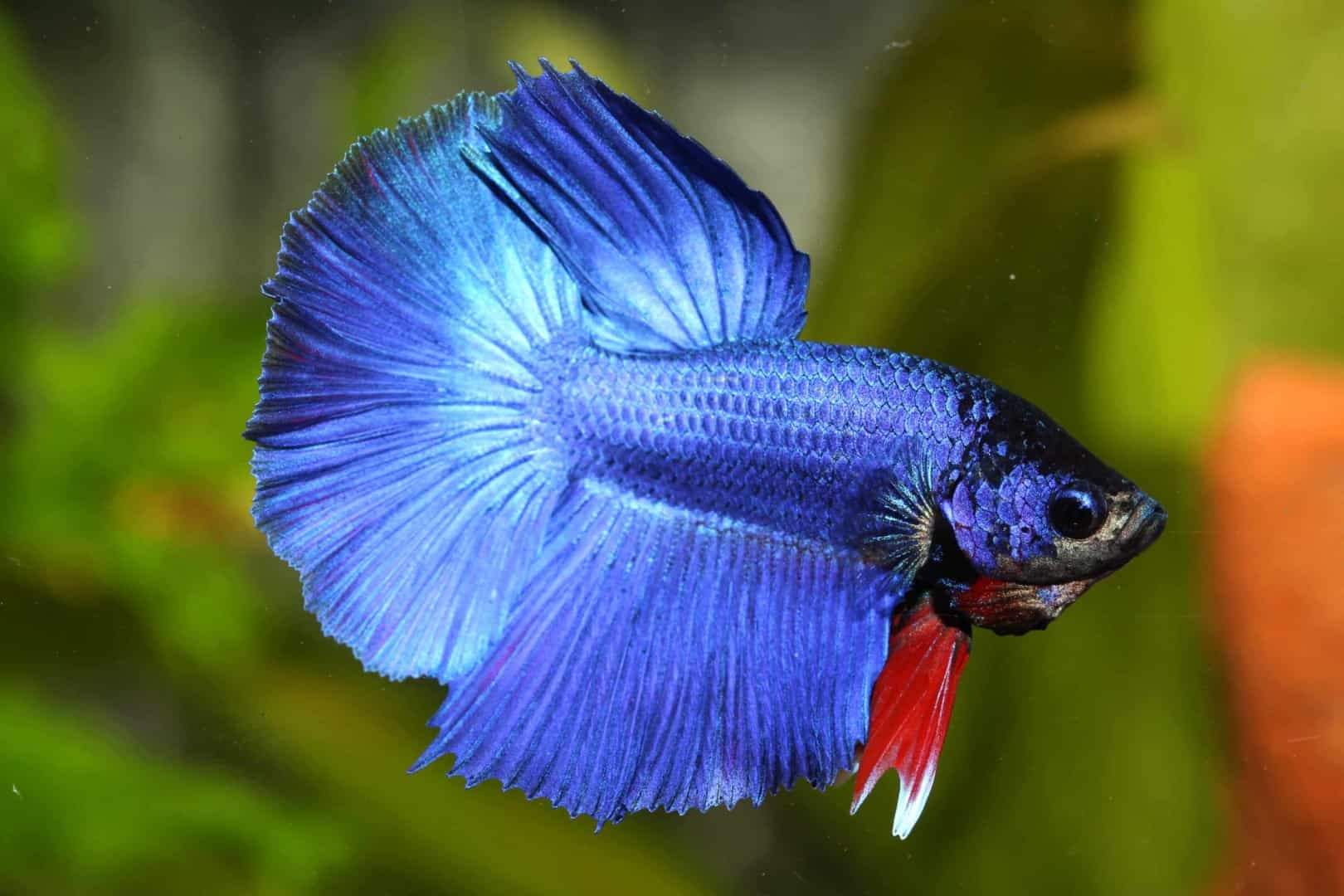 Betta splendens Half Moon : Quelle Aqua Haus