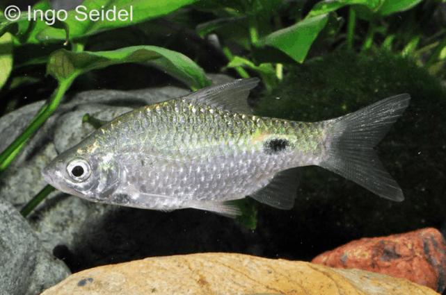 Pethia conchonius - Prachtbarbe 3