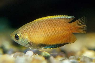 Colisa (Trichogaster) chuna - Honiggurami 4